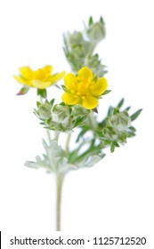 Blooming Wormwood on White Background