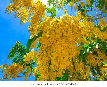 Blooming yellow acacia or elm. Mimosa, acacia and other plants on a branch.