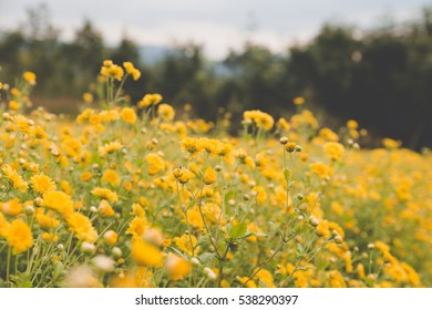 blooming yellow Chrysanthemum flower in agriculture field, soft focus