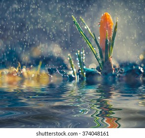 Blooming yellow crocus reflected in the crystal clear water of forest stream in the rain.