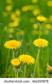Blooming yellow dandelions in the grass