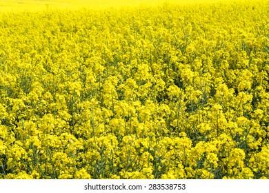 Blooming yellow field of rapeseed flowers