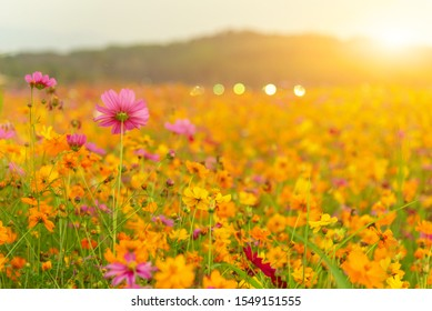 blooming yellow flower in the garden, Cosmos field in Thailand on spring and summer