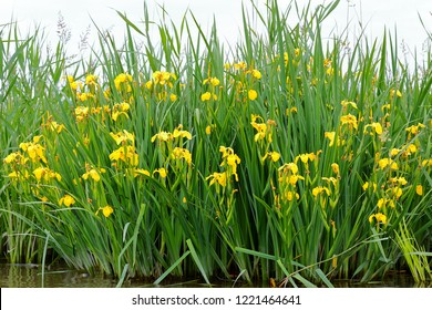 Blooming yellow flower of iris (pseudacorus) or yellow flag near the river