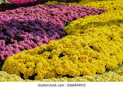 Yellow bushes images stock photos vectors shutterstock blooming yellow flowers and purple flowers in garden mightylinksfo