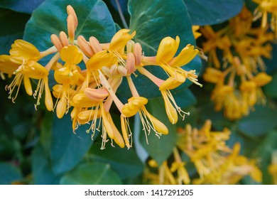 Blooming yellow honeysuckle Bush.  Flowering white-yellow Honeysuckle(Woodbine). Lonicera japonica, known as Japanese honeysuckle and golden-and-silver honeysuckle