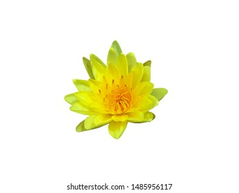 Blooming Yellow lotus flower isolated on white background - Image