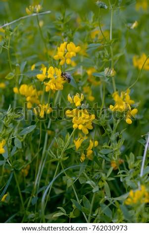 Blooming yellow lucerne sickle alfalfa field stock photo edit now blooming yellow lucerne sickle alfalfa in a field medicago falcata mightylinksfo