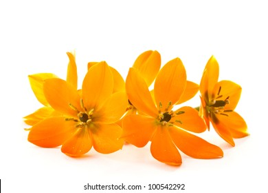 blooming yellow Ornithogalum Dubium on a white background