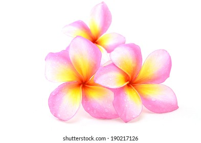 Blooming Yellow Plumeria (frangipani) on white background - with clipping path