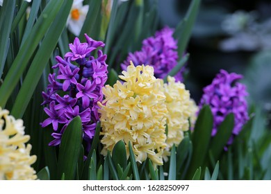 Blooming yellow and purple hyacinth flowers with plenty of green leaves. Beautiful early spring flowers used to celebrate Easter. Closeup color image taken in an indoor garden. Bright colors.