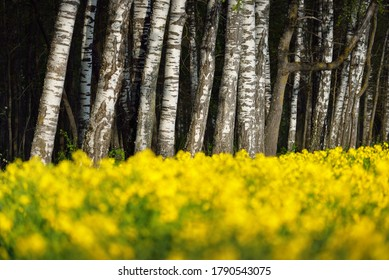 Blooming yellow rapeseed field and birch tree forest, Latvia. Idyllic rural scene. Agricultural, biotechnology, fuel and food industry, alternative energy, environmental conservation and production