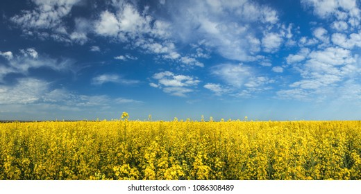 Blooming yellow rapeseed field with blue cloudless sky. Picturesque canola field under blue sky with white fluffy clouds. Wonderful image for ecological concept