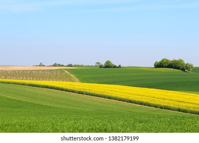 Blooming, yellow rapeseed field in a hilly landscape in spring, blue sky above