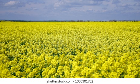 Blooming yellow rapeseed field under blue sky
