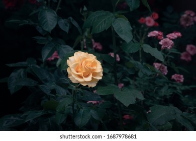 Blooming yellow rose flower in fabulous mystical garden on mysterious fairy tale spring or summer floral background, fantasy amazing nature dreamy landscape toned in low key, dark tones and shades