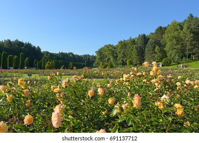 Blooming yellow roses in the flowerbeds in the Park. Rose Valley in Kislovodsk.