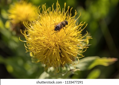 Yellow thistle images stock photos vectors shutterstock blooming yellow star thistle flowers in a garden mightylinksfo