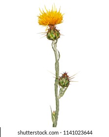 Blooming yellow star-thistle isolated on white, Centaurea solstitialis