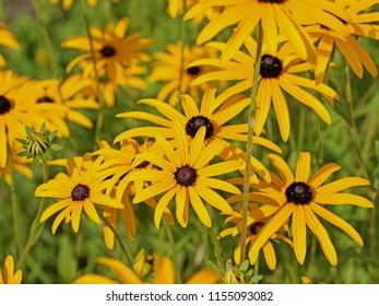 Blooming yellow sun hat, rudbeckia