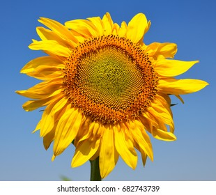 Blooming yellow sunflower but against a blue sky on a summer day
