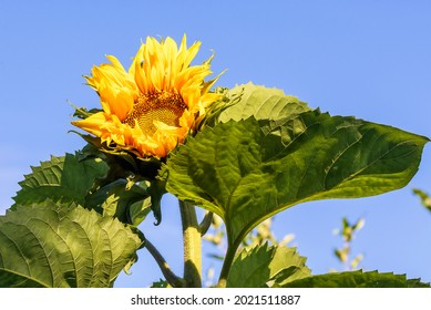 Blooming yellow sunflower bud close-up against the background of the blue sky. - Shutterstock ID 2021511887