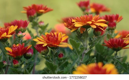 Blooming yeloow red Chrysanthemum flowers with green bakcgrou