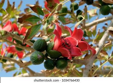 Blooms the Bombax Ceiba (Lat. - Bombax ceiba) or Cotton Tree on the Dead Sea