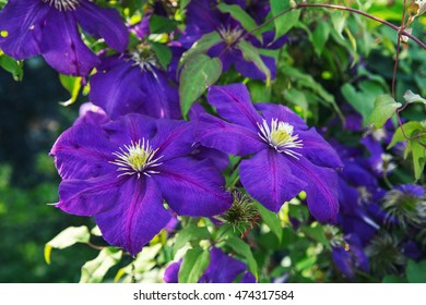 Blooms clematis blue-purple flowers. Clematis The President. Two flowers.