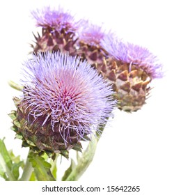 Blooms of, Cynara cardunculus Cardoon Artichoke Thistle