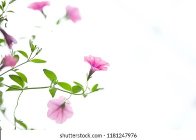 Blooms pink Petunia with buds and green leaves on a white background (Petunia hybrida) Garden. Focus concept. Space for text. Floral
