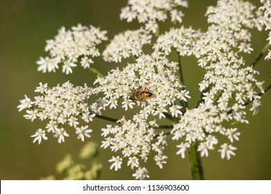 Blooms of poisonous spotted hemlock with insects on a meadow