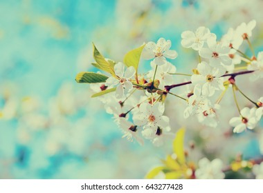 blooms tree branch in spring against  blur background   with copyspace