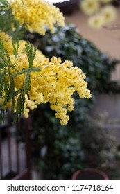 Blooms of yellow mimosa flower