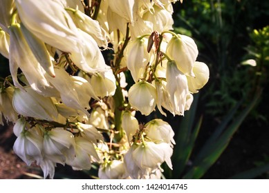 Blooms Yucca plant. Details and close-up.