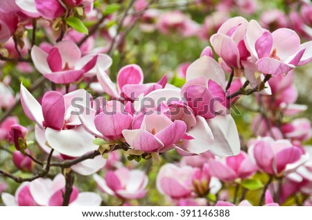Bloomy magnolia tree big pink flowers stock photo edit now bloomy magnolia tree with big pink flowers mightylinksfo