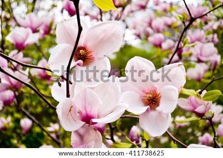 Bloomy magnolia tree big pink flowers stock photo edit now bloomy magnolia tree with big pink flowers spring is hereblooming magnolia in mightylinksfo