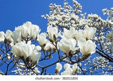 Bloomy magnolia tree big white flowers stock photo edit now bloomy magnolia tree with big white flowers mightylinksfo
