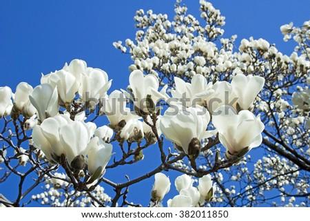 Bloomy magnolia tree big white flowers stock photo edit now bloomy magnolia tree with big white flowers mightylinksfo