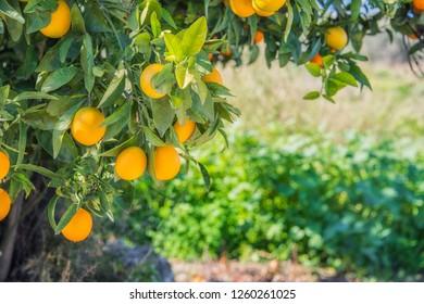 Bloomy orange garden in Valencia. Spain.