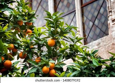 Bloomy orange garden in Valencia. Spain