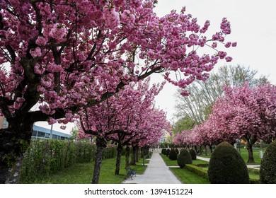 Bloosoming cherry tree avenue at Goethe park Klagenfurt. - Image