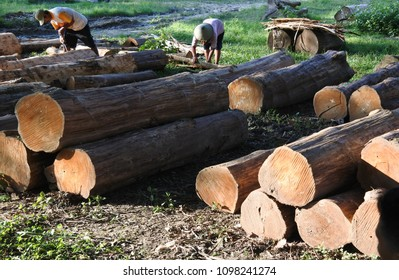 Blora-February 6, 2018: worker at a wooden logs of teak auction place, Central Java, Indonesia