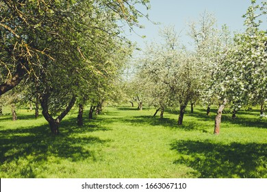 Blossom apple orchard in sunny day
