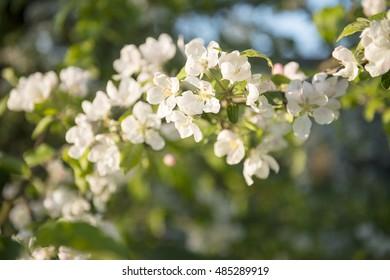 Blossom apple three flowers