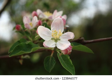 Blossom of an apple tree