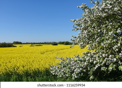 Blossom apple tree by a yellow canola field at the swedish island Oland