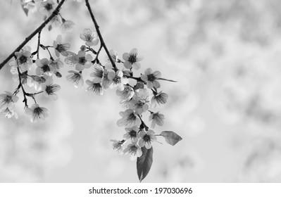 Blossom Black & White