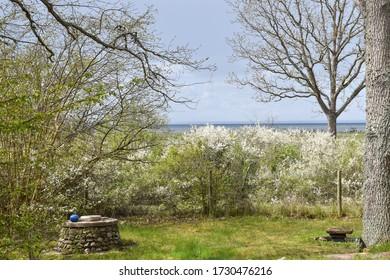 Blossom blackthorn shrubs in a coastal landscape
