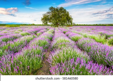 Blossom blades of lavender plants